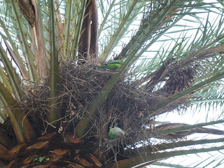 Non-native parrots in Barcelona | by Rayya The Vet