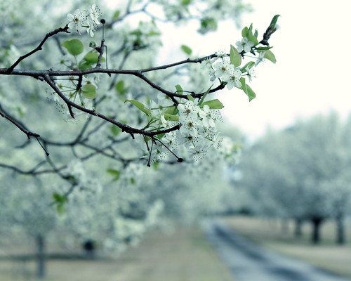 landscape march spring bradford blossom northcarolina tint pear bloom allée newbern treesinarow