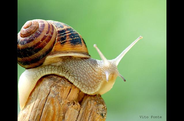 caracol Helix aspersa