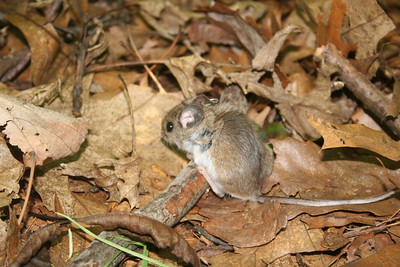 a brown mouse with a pale belly on ground covered with dead leaves and twigs