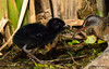 Râle de Virginie et son poussin / Virginia Rail Chick by anjoudiscus