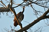 Slender-billed Vulture by as_kannan