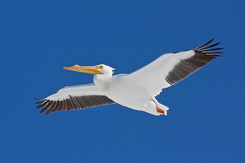 American White Pelican | by mja43