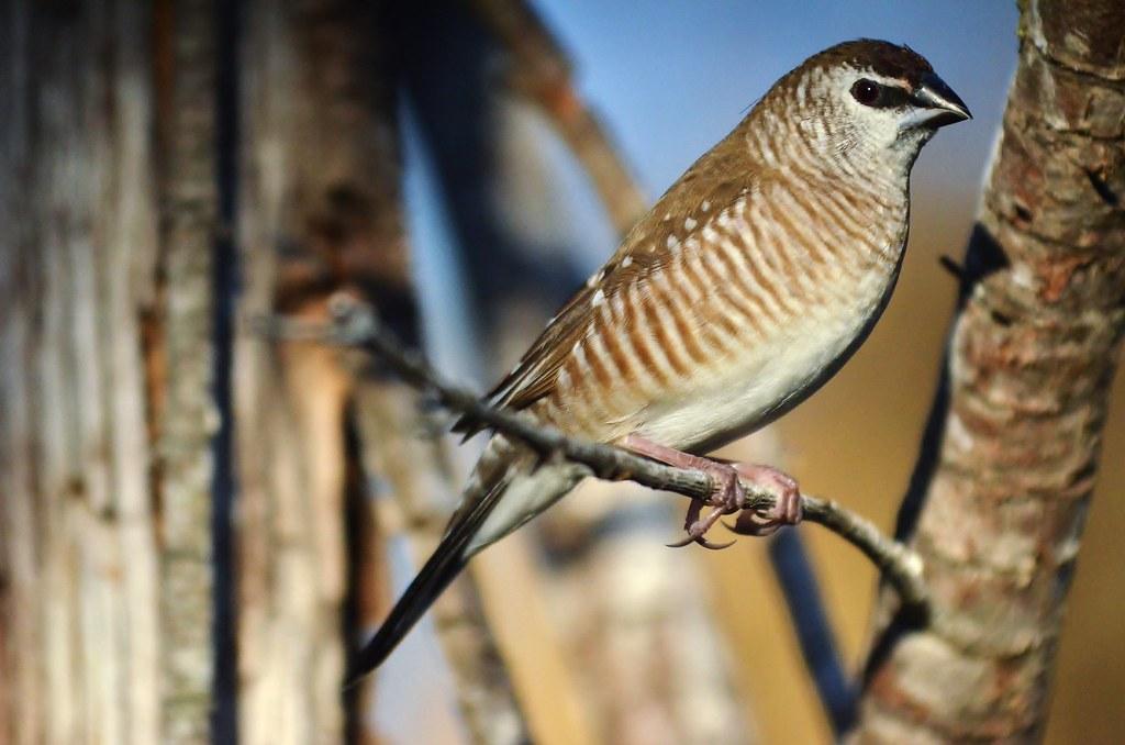 Plum Headed Finch