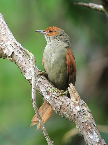 Cranioleuca erythrops / Chamicero rubicundo / Red-faced Spinetail | by felixú