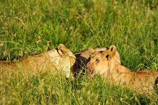 Masai Mara Feb 8 Game Drive | by videren