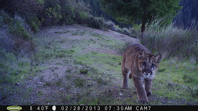 Mountain lion 2/28/2013; taken by motion-sensor camera. For more info contact Georgia Stigall