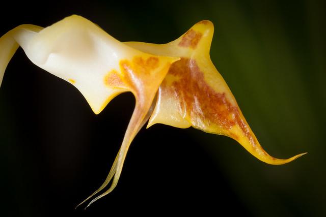 Gongora Tricolor 3592