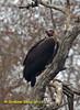 Red-headed Vulture,  Sarcogyps calvus,  IUCN Critically Endangered, by Graham Ekins