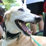 Greyhound Adventures at Lake Waban, Wellesley MA, August 7th 2016