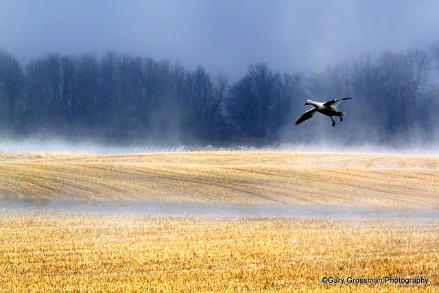 Misty Snow Goose [Explored]