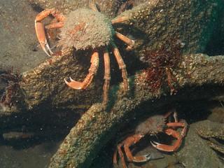 spider crabs arthur town