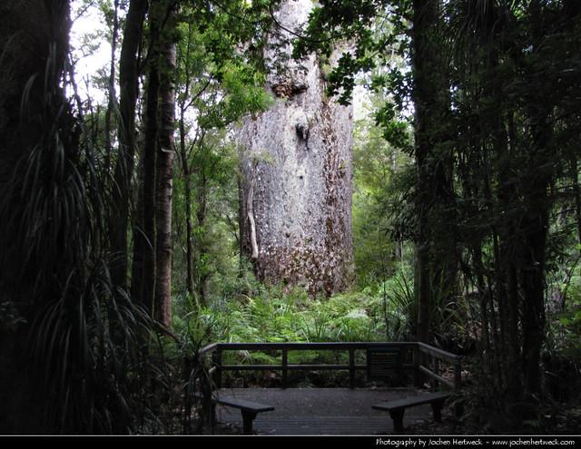 Te Matua Ngahere, Waipoua Forest Reserve, New Zealand