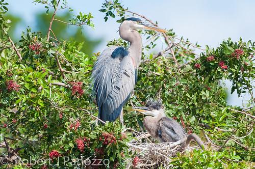bird heron chick greatblueheron rookery specanimal veniceareaaudubonsocietyrookery