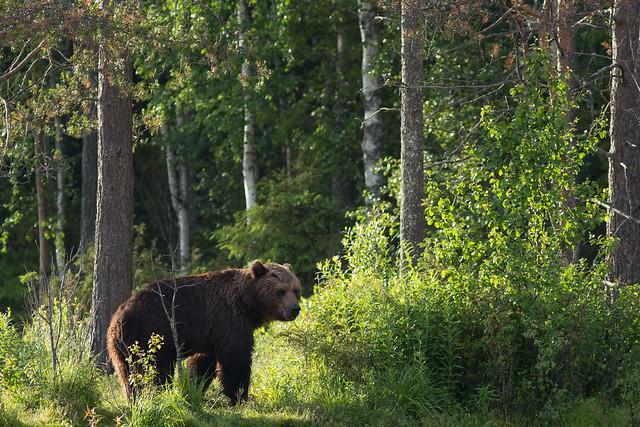 Karhu (Ursus arctos), Brown bear