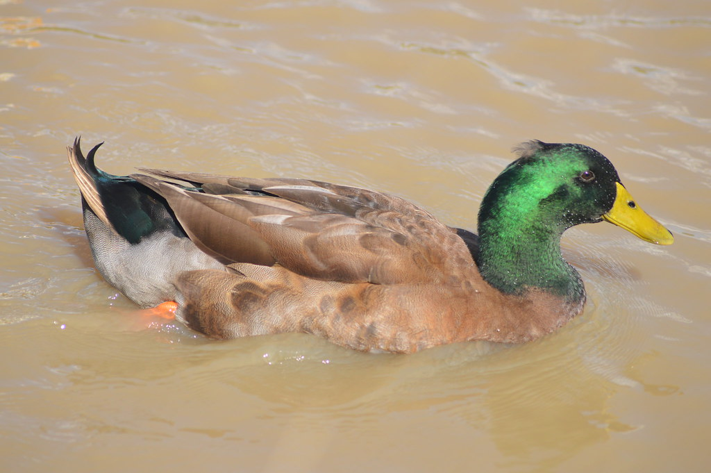 Khaki Campbell Duck Anas Platyrhynchos Domesticus Flickr
