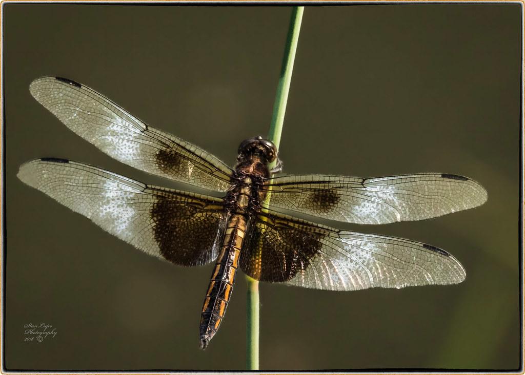 Widow Skimmer On Reed