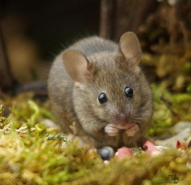 garden house mouse (1)