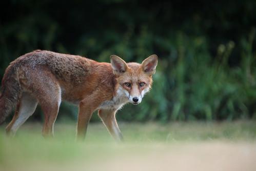Red Fox, Bristol, Ian Wade