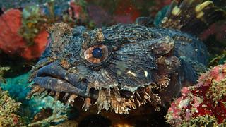 Eastern Frog Fish | by billunder
