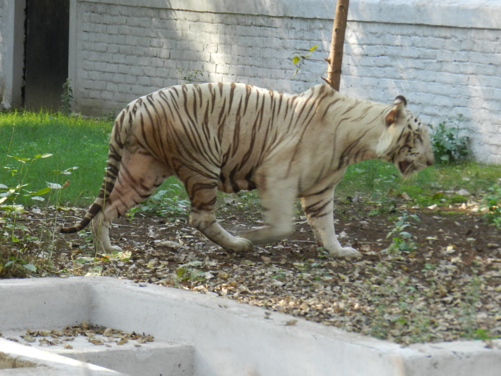 Pathetic position of white tiger in Patna zoo | By Mudassir … | Flickr