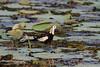 Pheasant Tailed Jacana by namal k