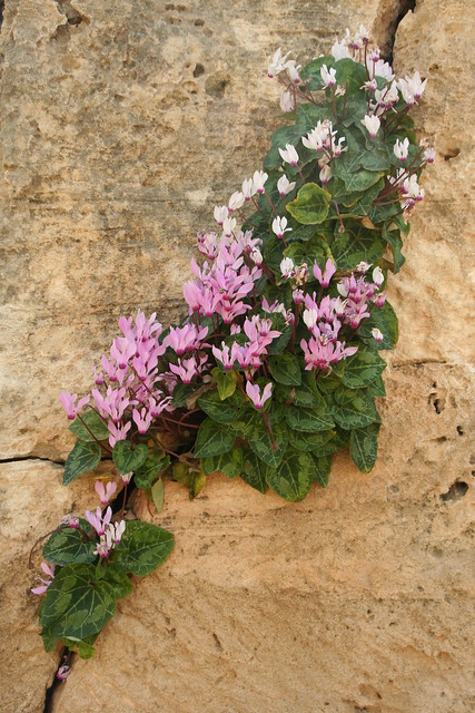Cyclamen persicum, Tombs of the Kings, Paphos, Cyprus, 17th March 2013