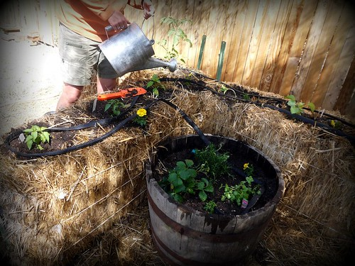 Tomatoes, chiles, & cucumbers planted in straw bales   by dog.breath