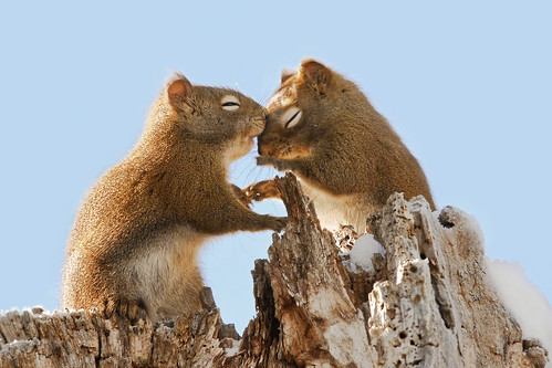 Squirrels in Love | by Raymond Lee Photography