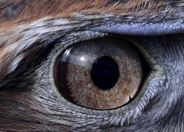 nikon nikkor 400mm 3.5 D800 rusty eagle eye crop