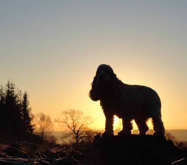 Statuesque spaniel at sunrise (Explore 21 Feb 2013)
