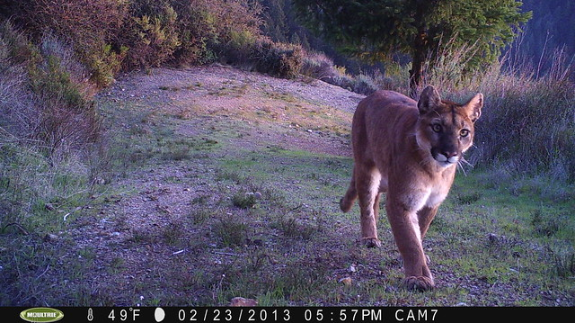 Mountain Lion 2/23/2013 @17:57 San Mateo County, California, USA; photo taken by motion-sensor camera. Check w/Georgia Stigall for more info.
