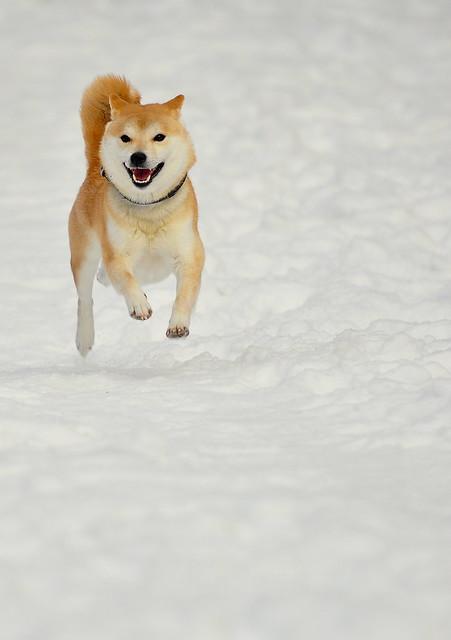 A Shiba in the snow
