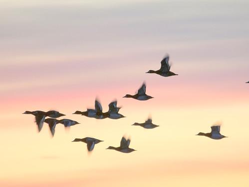 sunrise birdsinflight rophotocontest greaterscaupinsilhouette