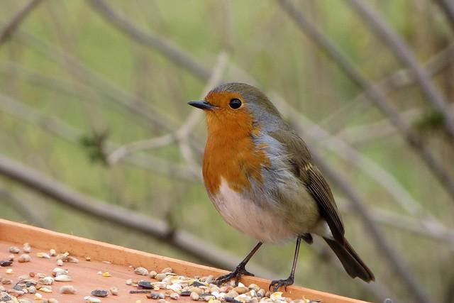 92 of 365 Robin