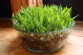 wheat grass | by by hand at home