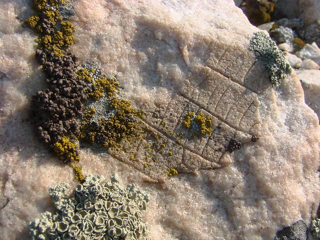 Отпечаток листа древнего растения на мраморе.  Горы Уши близ Камышина (Волгоградская область).  19 мая 2008 года. Kamyshin district (Volgograd region)