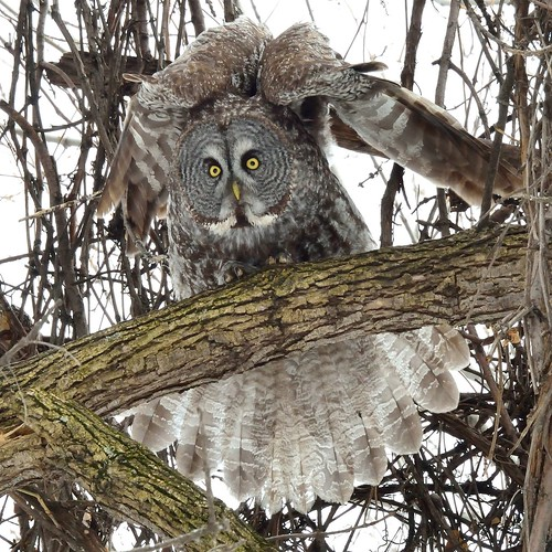 Chouette Lapone / Great Gray Owl | by anjoudiscus