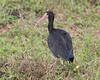 Bare-faced Ibis (Phimosus infuscatus) by Frank Shufelt