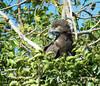 Culebrera Sombría (Circaetus cinereus) Brown Snake-Eagle by Corriplaya