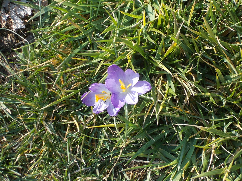 First Crocus of 2013