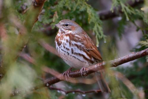 april boreal foxsparrow passerellailiaca glenburnmaine
