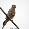 Falco ardosiaceus 20130423_38383 by phhoog