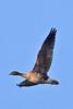 027020-IMG_2220 Pink-footed Goose (Anser brachyrhynchus) by ajmatthehiddenhouse