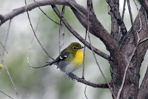 Yellow-throated Vireo | by WarblerLady