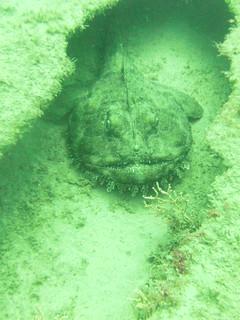 Monk Fish on the Spene Wreck