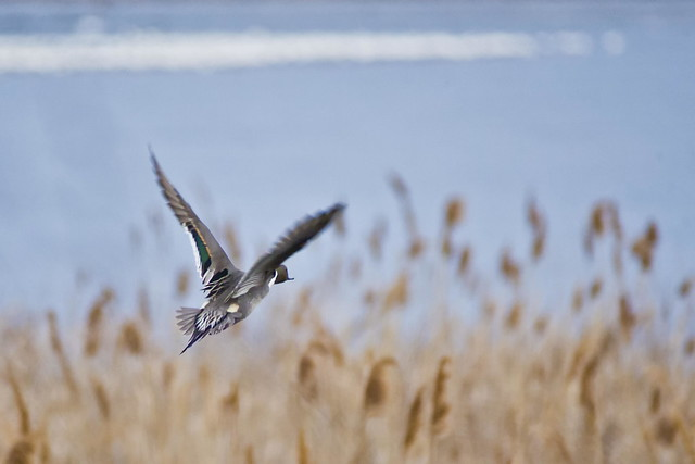 Pintail On The Go