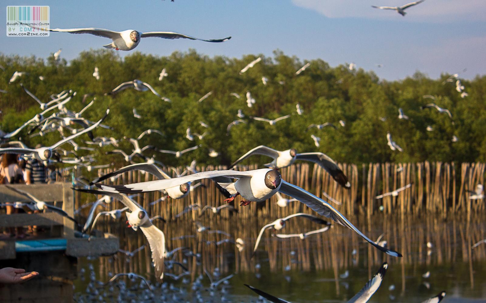 นกนางนวล บางปู ช่วงปลายปี