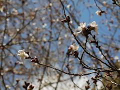 土, 2013-03-30 12:05 - ブルックリン植物園