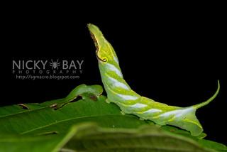 Hawk Moth Caterpillar (Acosmeryx cf. naga) - DSC_0671   by nickybay